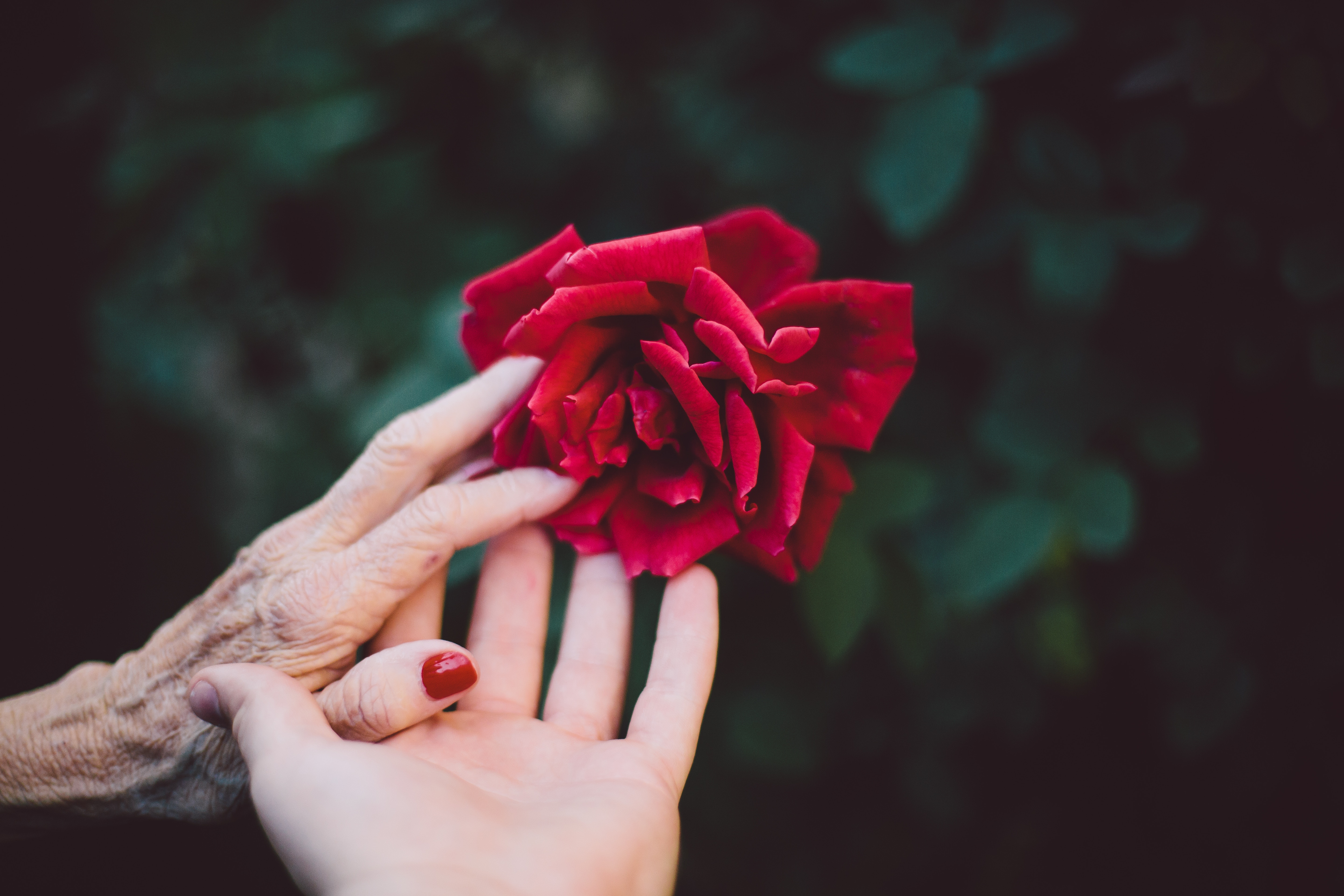 Young woman and elderly woman's hands touching each other and a red rose